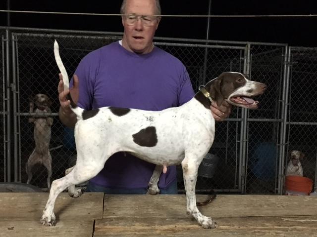 Elhew Englsih Pointer Dog Matron's, English Pointer Dog Breeder