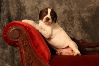 English Pointer Breder Of Puppies For Sale English Pointer Breeder