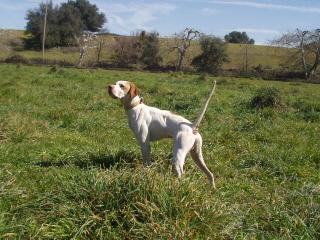 Elhew English Pointer Dog Studs Service at Elhew English Pointers