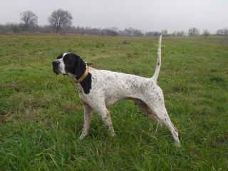 Elhew Pointer Champion Sires