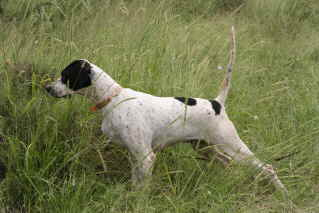 Elhew Pointer Champion Dam's Females
